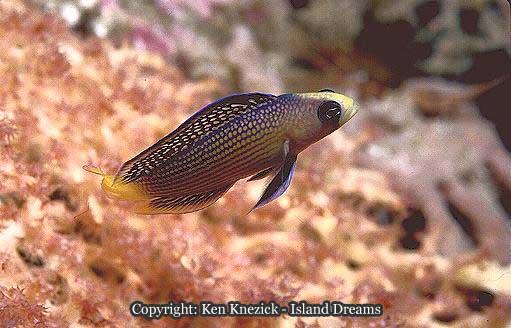Dottyback Fish | The Dottybacks Fish Tales