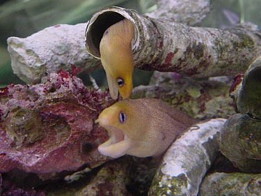 dwarf golden moray with jawfish reef sanctuary