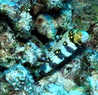 A Serpent For Your Reef Tank A Look At Fish Safe Eels Reefkeeping Com