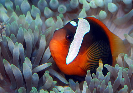White patch on clownfish's face? | Yahoo Answers