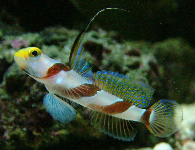Click here for full size picture for Saltwater goby fish