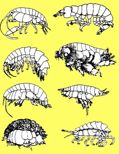 amphipods by ronald l shimek ph d reefkeeping com