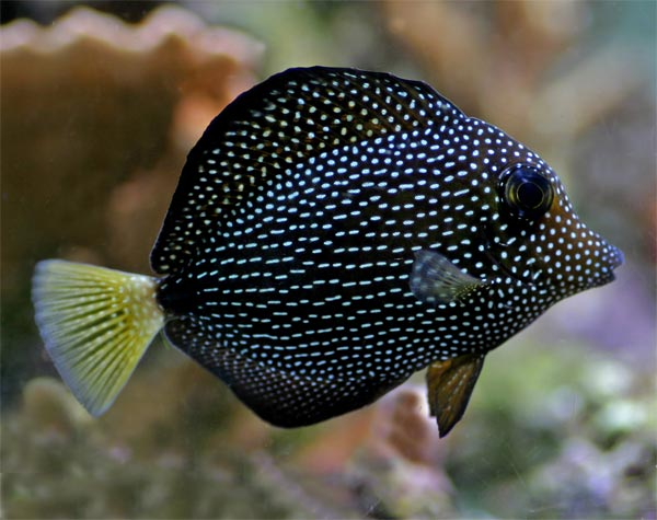 Does anyone know where i can get a gem tang reef for Tang saltwater fish