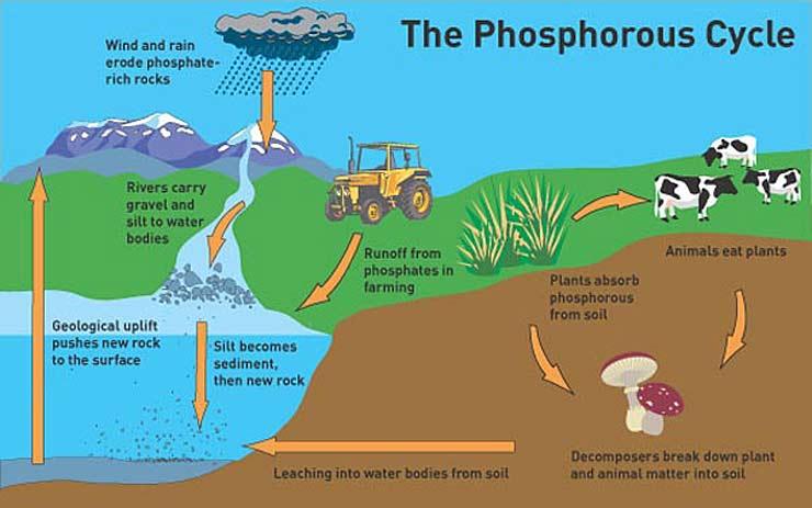 Biogeochemical Cycles LiveBinder – Phosphorus Cycle Worksheet
