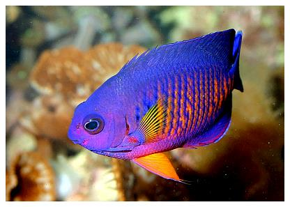 The Pygmy Angelfishes By James Fatherree Reefkeeping Com