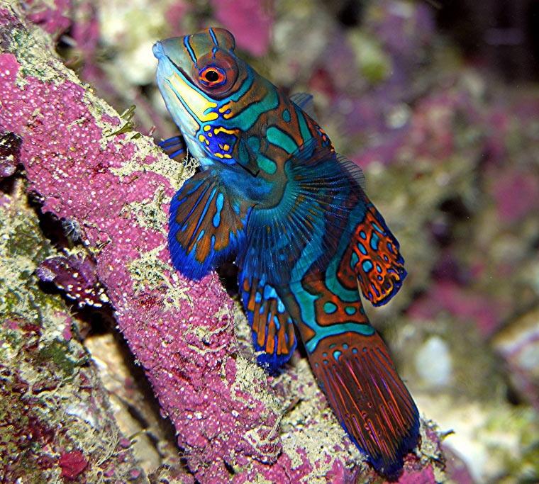 Dragonet Fish | Fish Profile Mandarinfish Synchiropus Splendidus By Steve Norvich