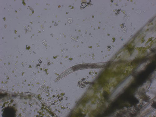 "Another nematode peeks out from a ""forest"" of hair algae at 100x"
