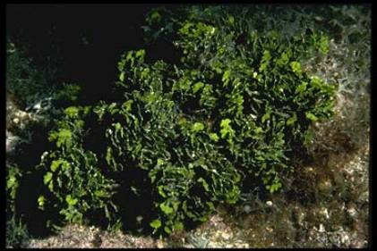 Halimeda Algae Halimeda The Cactus Algae by