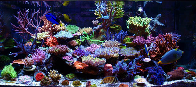 Tank of the month december 2012 reef central online for Community saltwater fish