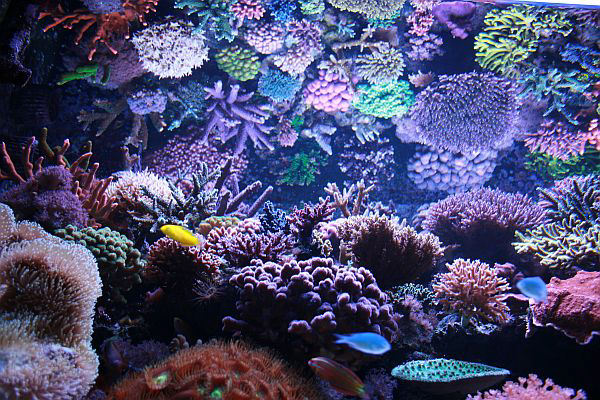 Pics Photos - Reef Tank With Lots Of Sps Hard Corals Stunning